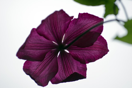 vitaly: Clematis in a garden Stock Photo