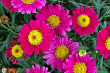 argyranthemum: Red Marguerites Stock Photo