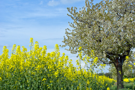 Yellow blooming flowers rapeseed field landscape photo