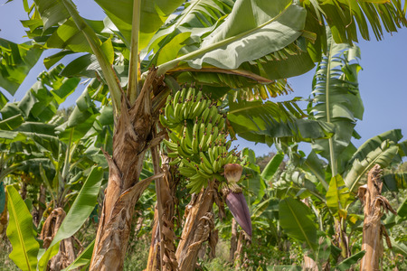 Banana Plantation Field in Martinique Caribbean Iceland 免版税图像