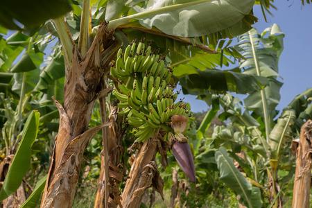 martinique: Banana Plantation Field in Martinique Caribbean Iceland Stock Photo