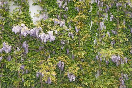 wistaria: Beautiful wisteria against a sandstone wall Stock Photo
