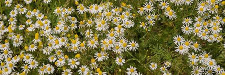 chamomile: Chamomile plants, chamomile field