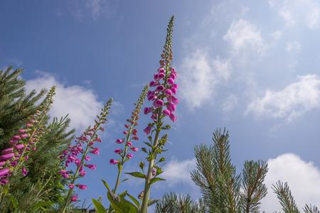 purpurea: Foxglove, Digitalis against a blue sky with clouds