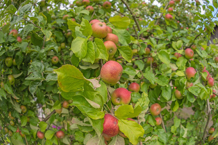pluck: Apple on an apple tree branch in the garden