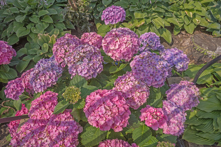 bigleaf hydrangea: Beautiful hydrangeas in the garden
