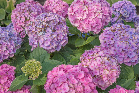 bigleaf hydrangea: Beautiful hydrangeas in the garden