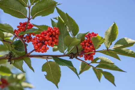 aucuparia: Close up bright rowan berries on a tree, Sorbus aucuparia