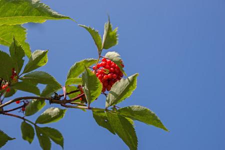 sorbus: Close up bright rowan berries on a tree, Sorbus aucuparia