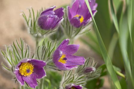 pulsatilla: Closeup of the blossom of Pulsatilla vulgaris