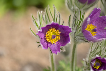 vulgaris: Closeup of the blossom of Pulsatilla vulgaris