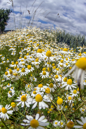 chamomilla: The field of chamomile in summer, Matricaria chamomilla Stock Photo