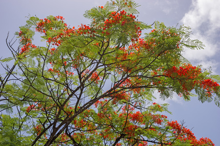 flamboyant: Flamboyant Flower Against Blue Sky, Delonix regia