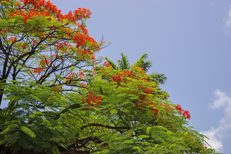 flamboyant: Flamboyant Flower Against Blue Sky, Delonix regia