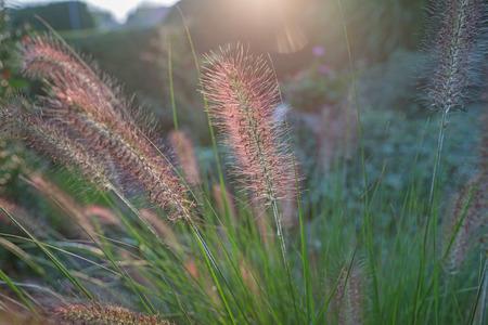 Pennisetum flower in sunset, Pennisetum alopecuroides