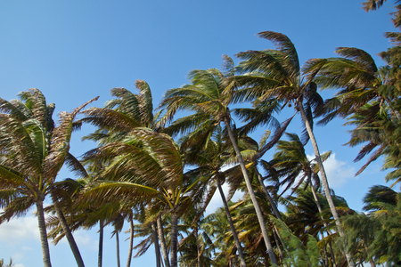 Palms in the wind on the island of Reunion
