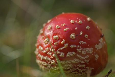fungi: Fly Agaric Fungi, Amanita muscaria