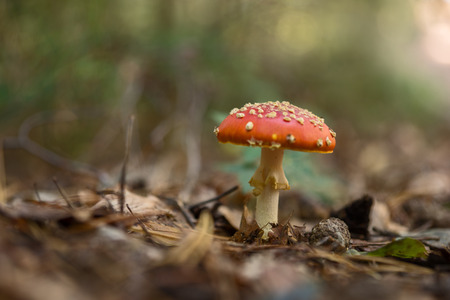 muscaria: Fly Agaric Fungi in the forest, Amanita muscaria