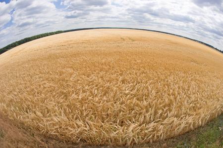 fisheye: fisheye lens photo of wheat field