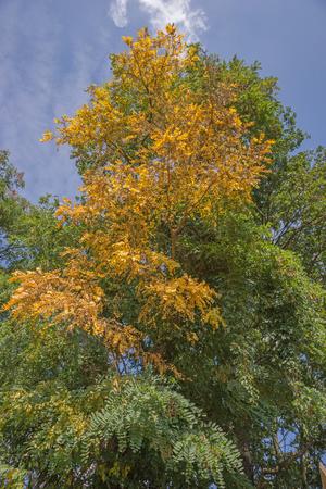 falso: Amarillo y verde Falsa Acacia Robinia pseudoacacia Foto de archivo