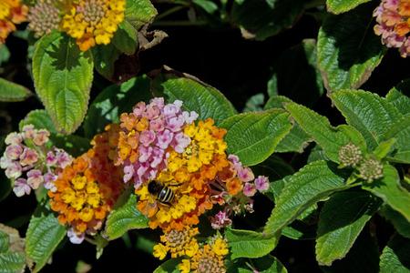 lantana camara: Lantana camara flower in the garden Stock Photo