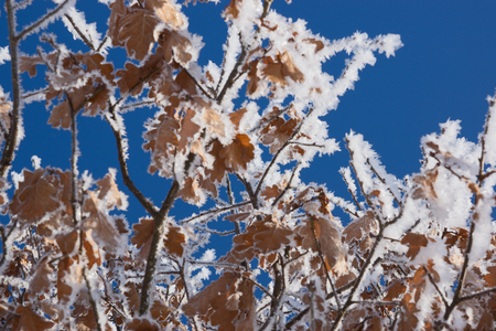 frost covered: Hoar frost covered oak leaves at winter forest