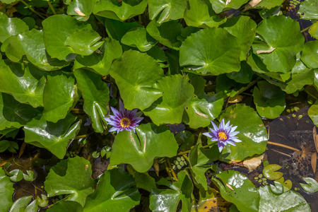 nymphaeaceae: Blooming Nymphaeaceae water lilies on shallow pond under sunny sky
