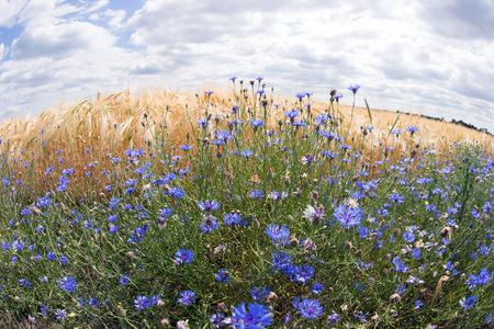 fisheye: Fisheye lens photo of wheat field with cornflowers
