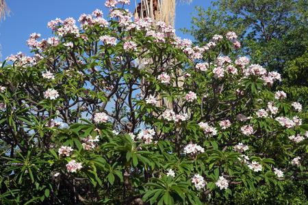 pacific islands: Plumeria Rubra Linn Frangipani is native to warm tropical areas of the Pacific Islands, Caribbean