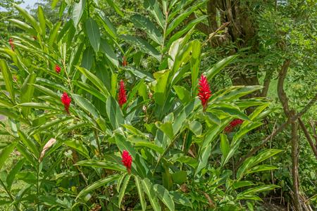 alpinia: Red ginger, Alpinia purpurata