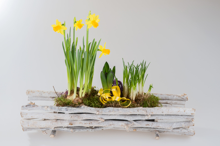 harbinger: Daffodils in wooden basket