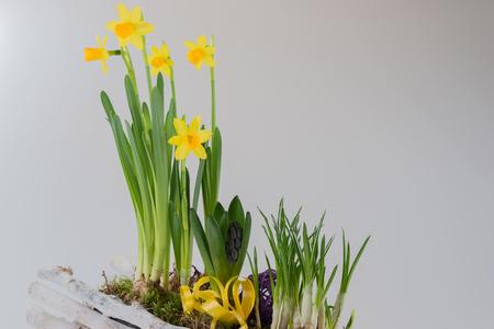 daffodils: Daffodils in wooden basket