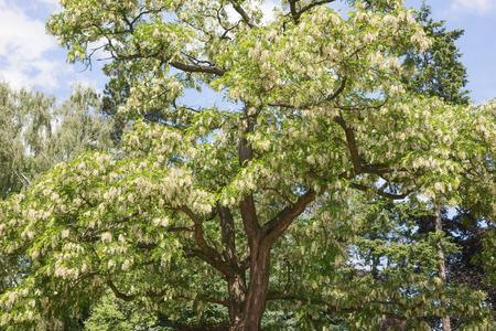 White flowers of acacia - Robinia pseudoacacia in the park