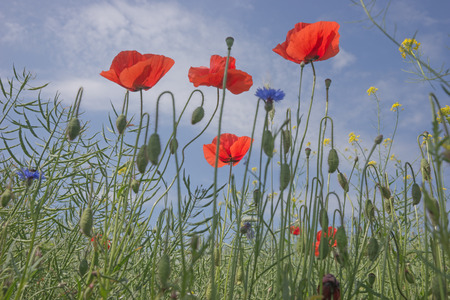 papaver: poppy flowers (Papaver rhoeas) against the blue sky