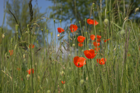 papaver rhoeas: Red poppy flowers (Papaver rhoeas) in the field