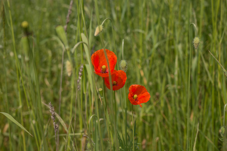 papaver: Red poppy flowers (Papaver rhoeas) in the field