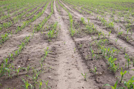 corn rows: Rows of young corn plants on a field