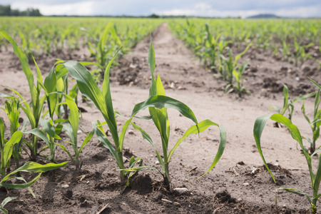 monoculture: Rows of young corn plants on a field