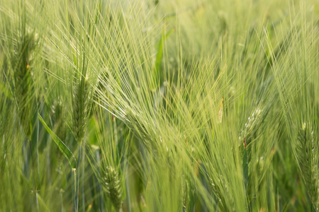 barley head: Ears of the green unripe barley photographed by a close up