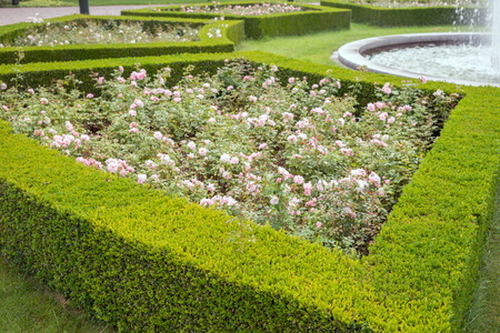 boxwood: evergreen boxwood (Buxus sempervirens) hedge adorn a rose garden Stock Photo