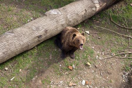 arctos: Brown bear, Ursus arctos, sitting on tree trunk