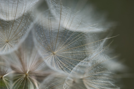 depth of field: Dandelion abstract background. Shallow depth of field
