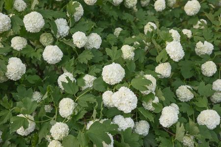 Viburnum Roseum bloomed beautiful white flowers in the garden Stock Photo