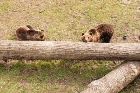 arctos: Two brown bears on tree trunk, Ursus arctos Stock Photo