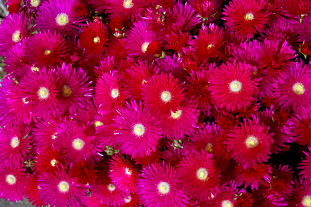 Red Ice Plant (Drosanthemum Floribundum), Flower background