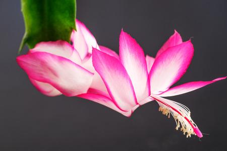 christmas cactus: Flower of Christmas Cactus (Schlumbergera) isolated on black background Stock Photo