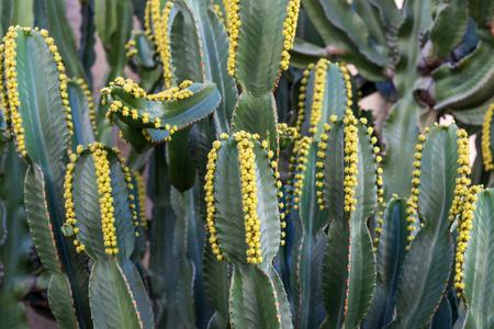 Cactus (Euphorbia canariensis) on the Canary Island of Gran Canaria