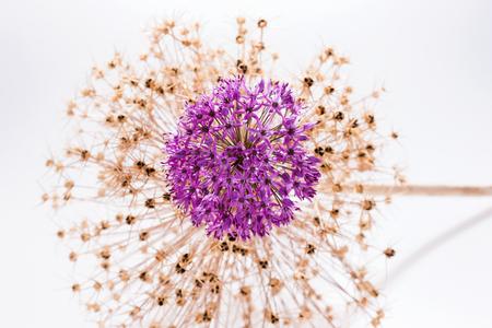 Allium flower (Allium Giganteum) with decoration