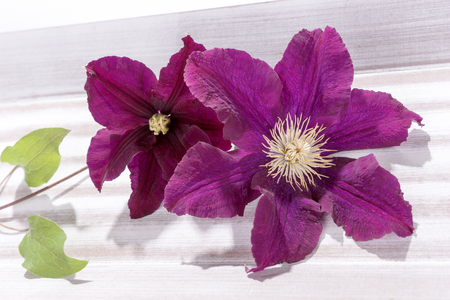 Closeup of purple clematis flower head on bright wooden background
