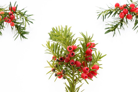 Yew twigs with fruits and place for text Stock Photo